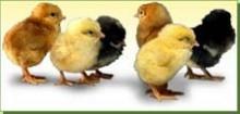 ЯЙЦА И ПТИЦИ ЗОРА - Продукти - Еднодневни пилета